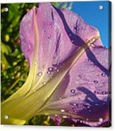 Sunlit Morning Glory Acrylic Print