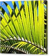 Sunlit Palm Tree  Acrylic Print