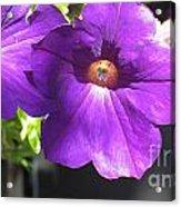 Sunlit Petunias Acrylic Print
