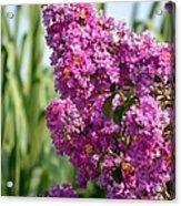 Sunlit Purple Crepe Mertle Acrylic Print