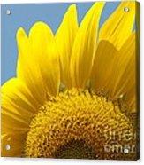 Sunlit Sunflower Acrylic Print
