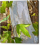 Sunlit Sycamore Leaves In Andreas Canyon In Indian Canyons-ca Acrylic Print