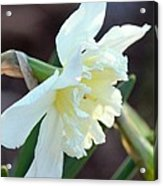 Sunlit White Daffodil Acrylic Print