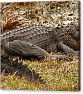 Sunning Alligator. Wetlands Park. Acrylic Print