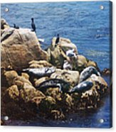 Sunning Seals Acrylic Print