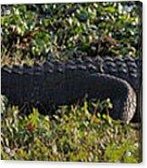 Sunny Alligator Acrylic Print by Joshua House