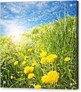 Sunny Dandelions Acrylic Print