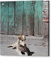 Dog Enjoying A Sunny Doorstep Acrylic Print
