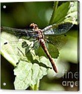 Sunny Dragonfly Acrylic Print