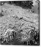 Sunny Gator Black And White Acrylic Print