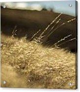 Sunny Grain Acrylic Print