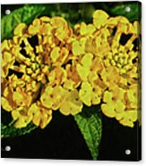 Sunny Lantana Acrylic Print