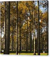 Sunny Larch Grove Acrylic Print