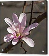 Sunny Pink Magnolia Blossom Acrylic Print