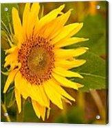 Sunny Sunflower Fields Acrylic Print
