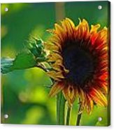 Sunny Sunflower Acrylic Print by Denise Darby