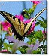 Sunny Tiger Swallowtail  Acrylic Print