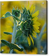Sunny With Texture Acrylic Print by Rima Biswas