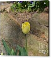 Sunny Yellow Tulips Series  Picture B Acrylic Print