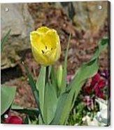 Sunny Yellow Tulips Series  Picture C Acrylic Print