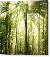 Sunrays Through Treetops Acrylic Print
