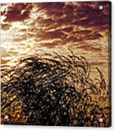 Sunrise And Lacy  Tree Acrylic Print