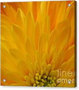Sunrise Dahlia Abstract Acrylic Print