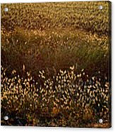 Sunrise On Wild Grass Acrylic Print
