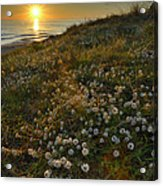 Sunset At The Beach  White Flowers On The Sand Acrylic Print by Guido Montanes Castillo