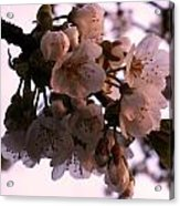 Sunset Cherry Blossoms Acrylic Print