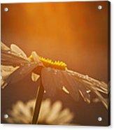 Sunset Daisy Acrylic Print