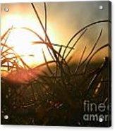 Sunset Grass 1 Acrylic Print