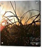 Sunset Grass 2 Acrylic Print