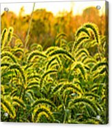 Sunset Grasses Acrylic Print
