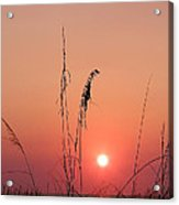 Sunset In Tall Grass Acrylic Print