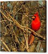 Sunset On A Norhern Cardinal Acrylic Print