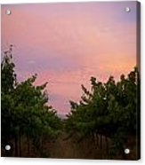 Sunset On Vines Acrylic Print