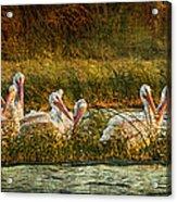 Pelicans Rest Acrylic Print