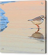 Sunset Piping Plover Acrylic Print