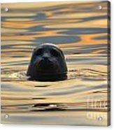 Sunset Seal Acrylic Print