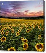 Sunset Sunflowers Acrylic Print by Debra and Dave Vanderlaan