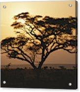 Sunset Through A Silhouetted Acacia Acrylic Print