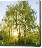 Sunset Willow Acrylic Print