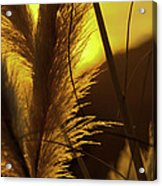 Sunset With Reeds Acrylic Print