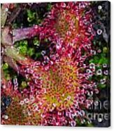 Sundew Acrylic Print