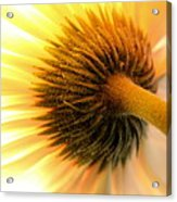 Sunshine Daisy Acrylic Print