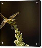 Sunshine On A Landed Dragonfly. Acrylic Print