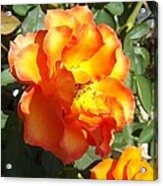 Sunshine On Rose Acrylic Print by Rosalie Klidies