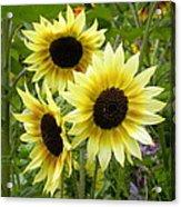 Sunshine Trio Acrylic Print