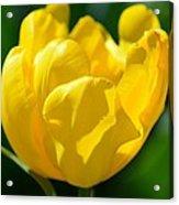 Sunshine Tulip Acrylic Print
